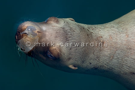 Northern or steller sea lion or sealion (Eumetopias jubatus)