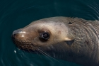 Click to see details of Northern or steller sea lion or sealion (Eumetopias jubatus)