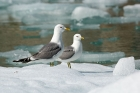 Click to see details of Mew gulls (Larus canus)