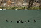 Click to see details of Pigeon guillemots (Cepphus columba)