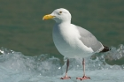 Click to see details of Herring gull (Larus argentatus)