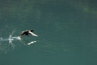 Click to see details of Pigeon guillemot (Cepphus columba)