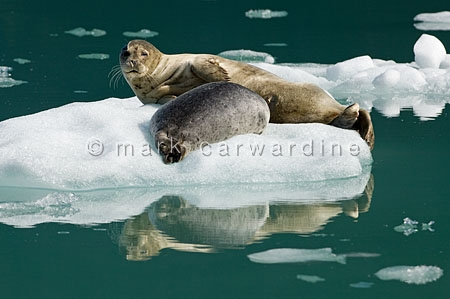 Common or harbour seal (Phoca vitulina)