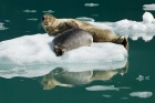 Click to see details of Common or harbour seal (Phoca vitulina)