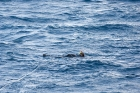 Click to see details of Snorkeller watching dwarf minke whales