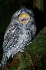 Click to see details of Tawny frogmouth (Podargus strigoides)