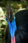 Click to see details of Southern cassowary (Casuarius casuarius)