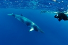 Click to see details of Minke whale (Balaenoptera acutorostrata) with researchers