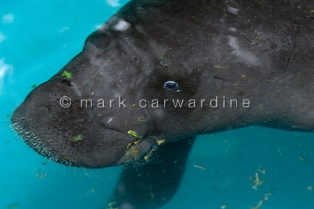 Amazonian manatee (Trichechus inunguis)