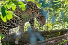 Click to see details of Jaguar (Panthera onca) - one-year-old cub
