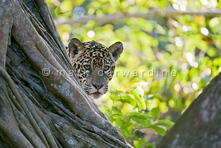 Jaguar (Panthera onca) - one-year-old cub