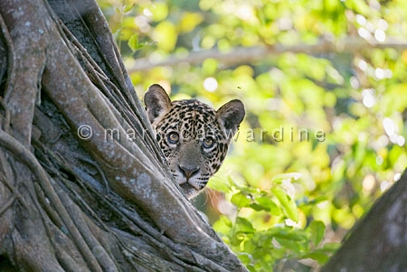 Jaguar (Panthera onca) - one-year-old cub watching fly