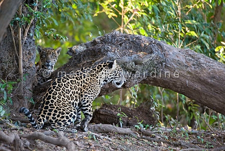 Jaguar (Panthera onca) - one-year-old cubs