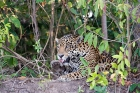 Click to see details of Jaguar (Panthera onca) - grooming