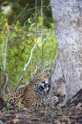 Click to see details of Jaguar (Panthera onca)