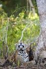 Click to see details of Jaguar (Panthera onca) - watching fly