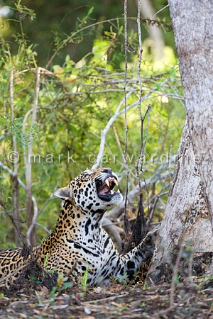 Jaguar (Panthera onca) - snarling