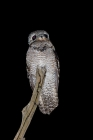 Click to see details of Great potoo (Nyctibius grandis)