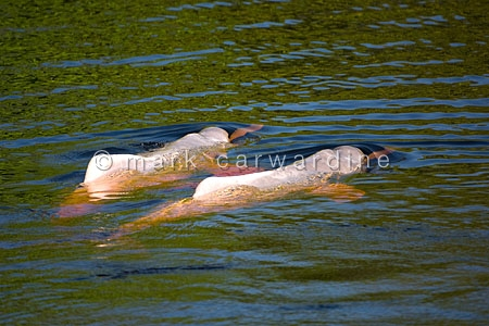 Amazon river dolphin, pink river dolphin or boto (Inia geoffrens