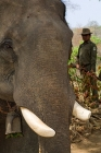 Click to see details of Asian elephant (Elephas maximus)