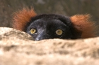 Click to see details of Red-ruffed lemur (Varecia variegata)