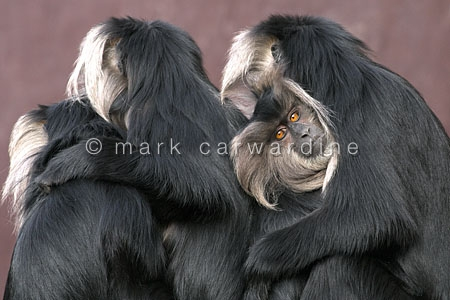 Lion-tailed macaques (Macaca silenus)