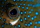 Click to see details of Blue-spotted grouper (Cephalopholis argus)