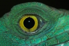 Click to see details of Plumed basilisk or Jesus Christ lizard (Basiliscus plumifrons)
