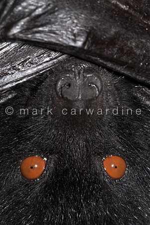 Livingstone's fruit bat (Pteropus livingstonii)