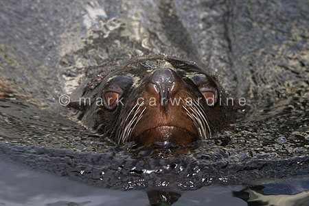 South American fur seal (Arctocephalus australis)