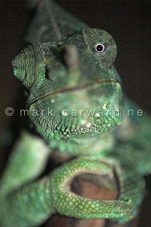 Meller's giant chameleon or giant one-horned chameleon (Chamaele