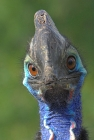 Click to see details of Double-wattled cassowary (Casuarius casuarius)