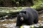 Click to see details of Black bear (Ursus americanus)