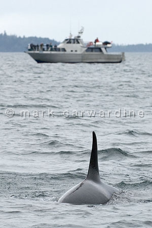 Whale watching - with killer whale or orca (Orcinus orca)