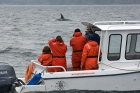 Click to see details of Whale watching - with killer whale or orca (Orcinus orca)