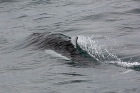 Click to see details of Dall's porpoise (Phocoenoides dalli)