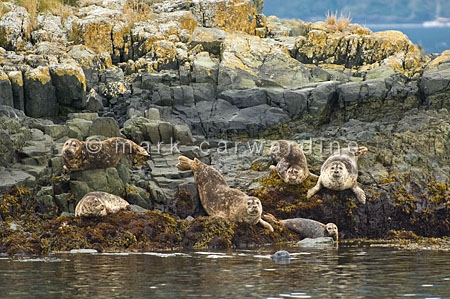 Harbour seals (Phoca vitulina)