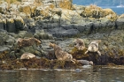Click to see details of Harbour seals (Phoca vitulina)