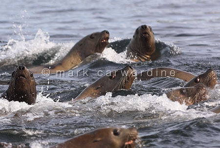 Steller's or northern sea lions (Eumetopias jubatus)