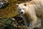Click to see details of Spirit or kermode bear (Ursus americanus)