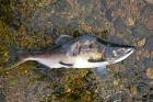 Click to see details of Pacific pink or humpback salmon (Oncorhynchus gorbuscha)