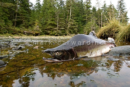 Pacific pink or humpback salmon (Oncorhynchus gorbuscha)