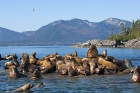 Click to see details of Steller's or northern sea lions (Eumetopias jubatus)