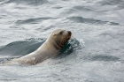 Click to see details of Steller's or northern sea lion (Eumetopias jubatus)