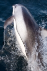 Click to see details of Pacific white-sided dolphin or lag (Lagenorhynchus obliquidens)