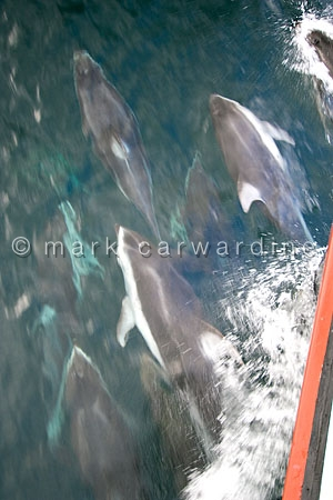 Pacific white-sided dolphins or lags (Lagenorhynchus obliquidens