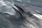 Click to see details of Pacific white-sided dolphins or lags (Lagenorhynchus obliquidens