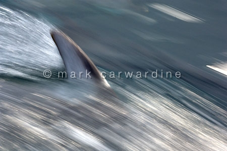 Pacific white-sided dolphin or lag (Lagenorhynchus obliquidens)