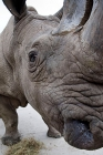 Click to see details of Northern white rhinoceros (Ceratotherium simum cottoni)