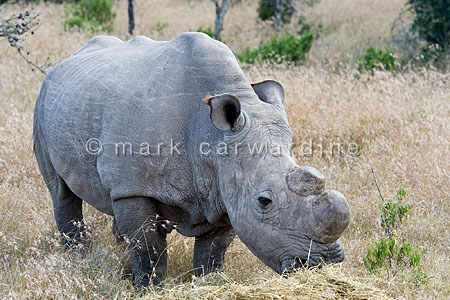 Northern white rhinoceros (Ceratotherium simum cottoni)